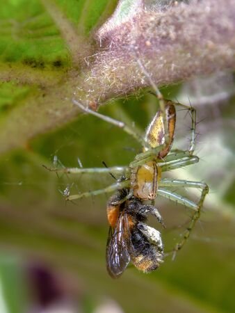 Macro photography of a garden spider with an insect on its fangs. Photography taken in a garden near the colonial town of Villa de Leyva, in the central Andean mountains of Colombia.