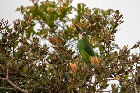 An exotic emerald toucanet perched on a tree, captured at the forest of the mountains near the town of Villa de Leyva, in the central Andes of Colombia.