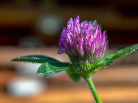 Macro photography of a red clover flower with some dew drops on it. Captured at the central Andean mountains of Colombia.