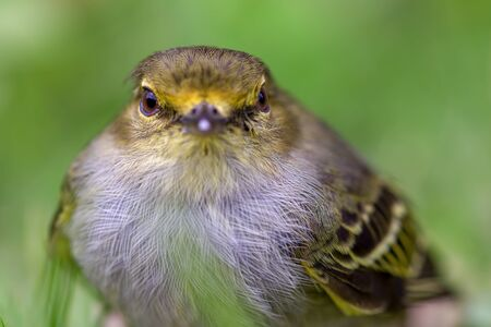 Macro photography of a little golden-faced tyrannulet bird, captured at highlands near the town of Villa de Leyva, in the Andean mountains of Colombia. Stock Photo