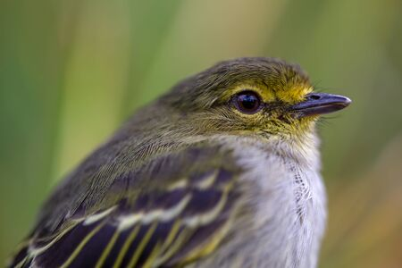 Macro photography of a little golden-faced tyrannulet bird, captured at highlands near the town of Villa de Leyva, in the Andean mountains of Colombia.