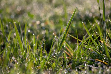 Close-up photography of some spades of grass covered in raindrops. Captured with the ligth of the sun early in the morning.