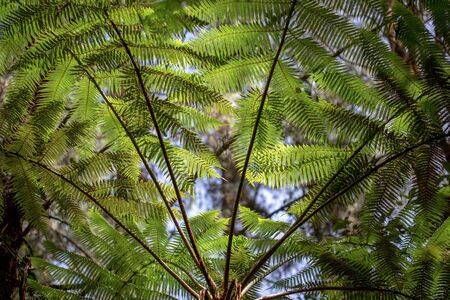 Fronds of tree ferns at a native forest in the mountains near the town of Arcabuco, in de department of Boyaca, in Colombia.