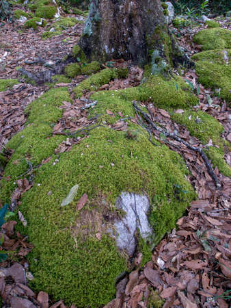 Oak forest with rocks covered in moss at the hillside of the Iguaque mountain in the central Andes of Colombia.