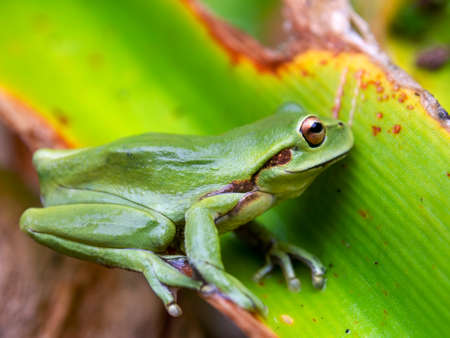 Macro photography of an adut green dotted treefrog standing on a leaf, captured at a garden near the colonial town of Villa de Leyva, Colombia.