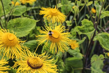 Abejorro recoge néctar de una flor amarilla Foto de archivo - 91457082