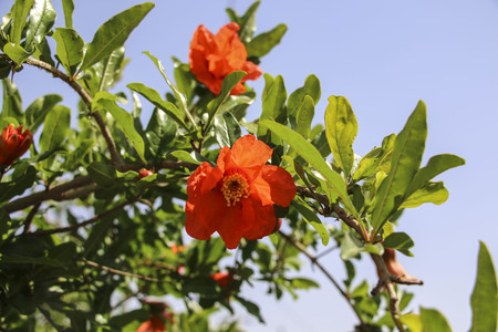 Pomegranates tree with red flowers at blue sky background Stock Photo