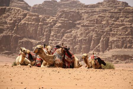 Camels rest on the sand in the desert Wadi Rum, Jordan. Standard-Bild - 113661723