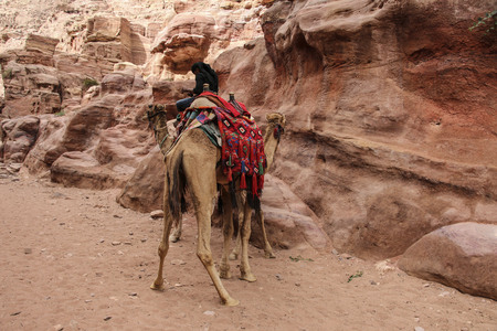 Camels used to transport tourists in the ancient city of Petra, Jordan