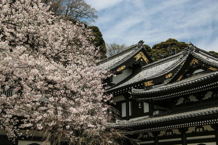 Roof Hasedera temple against a blooming sakura, the famous temple in the city of Kamakura, Japan