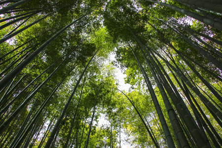 Bamboo tree trunks reach for the sky on a sunny day