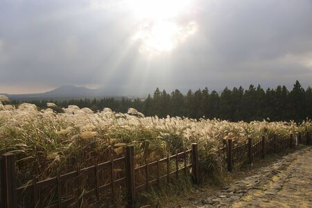 Miscanthus sinensis on road to Sangumburi Crater against the background of a stormy sky Jeju Island, South Korea