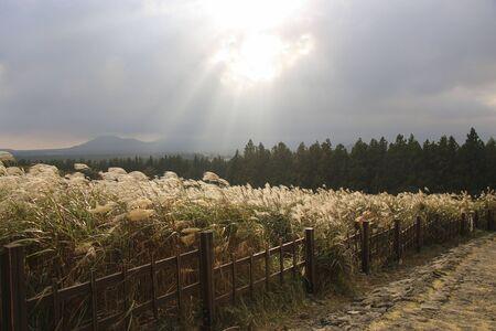 Miscanthus sinensis sur la route du cratère de Sangumburi dans le contexte d'un ciel d'orage l'île de Jeju, Corée du Sud