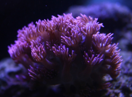 goniopora: Awesome coral