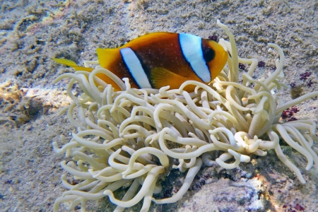 A clownfish in an anemone Stock Photo - 16331883