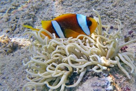 percula: A clownfish in an anemone