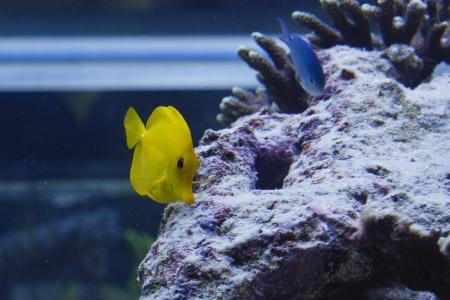 Yellow Zebrasoma flavescens in aquarium Stock Photo - 16592383