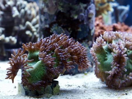 lps: A coral farm