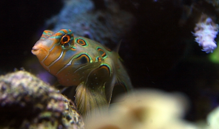 Mandarin fish in my coral aquarium Stock Photo - 16805727