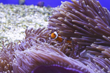 Clown fish in coral aquarium
