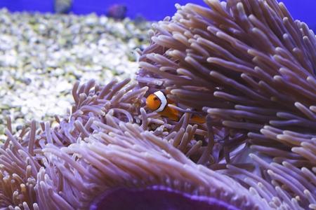 Clown fish in coral aquarium Stock Photo - 16985568