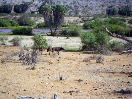 three bufaloes photo