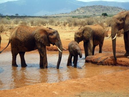 tsavo: Elephants in Tsavo, Kenya
