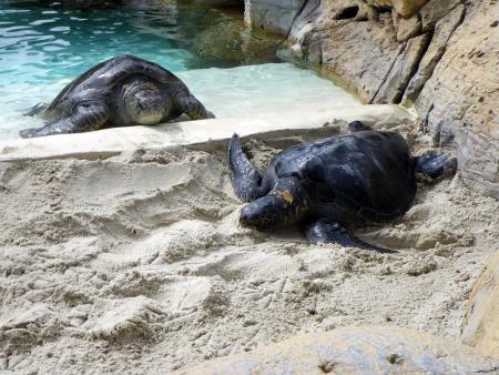 Sea turtles at San Diego aquarium photo