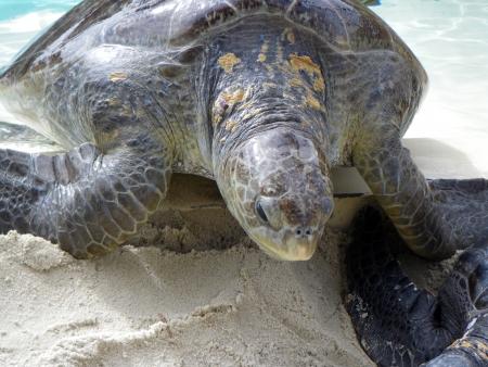 Sea turtle at San Diego aquarium photo
