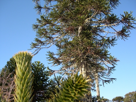Araucaria forest in Conguillio National Park, Chile photo