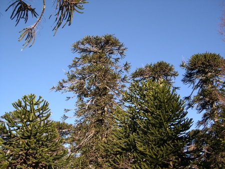Araucaria forest in Conguillio National Park, Chile photo