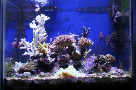 A view of a couple of fishes in an aquarium with corals Stock Photo - 18997073
