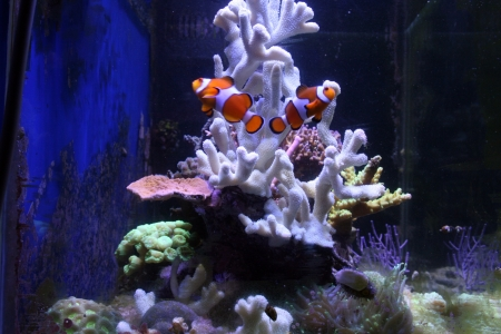 A view of a couple of fishes in an aquarium with corals Stock Photo - 18997069