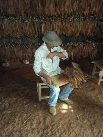 """Vinales, Cuba - 20 aprile 2012: Un coltivatore di tabacco di Vinales, come molti altri abitanti di questa zona. Egli sta mostrando come preparare un """"puro cubano"""", il famoso sigaro cubano. Editoriali"""