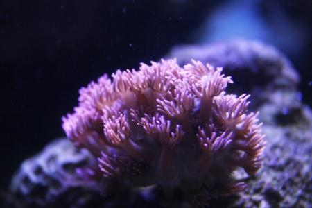 koraal in het aquarium