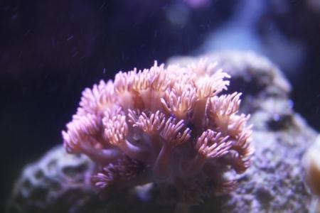 goniopora: A coral in aquarium Stock Photo