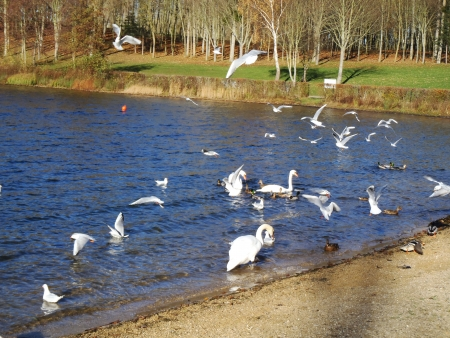 agachado: las aves invernantes en la bahía en la costa - cisnes, gaviotas, patos silvestres