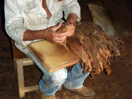 A tobacco farmer of Vinales, like many others residents of this area  He is showing how to prepare a  puro cubano , the famous Cuban cigar  Stock Photo