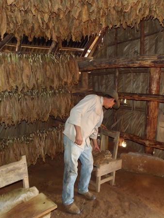 Vinales, Cuba - 20 APRILE 2012 Un coltivatore di tabacco di Vinales, come molti altri residenti di questa zona è una prova di come preparare un cubano puro, il famoso sigaro cubano