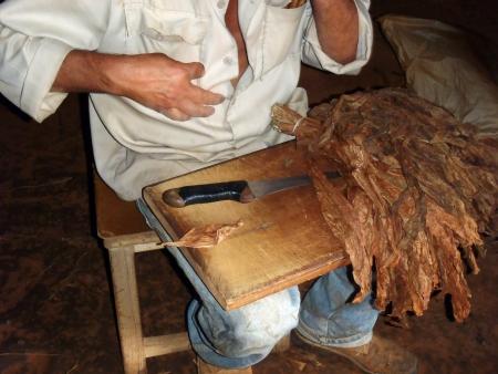 Vinales, Cuba - 20 aprile 2012: Un coltivatore di tabacco di Vinales, come molti altri abitanti di questa zona. Egli sta mostrando come preparare un puro cubano, il famoso sigaro cubano.