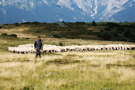 Andalo, Italy - August 17, 2012  A sheperd control the flock grazing over the Brenta