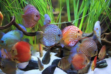 symphysodon: Collection of tropical Fishes in an aquarium