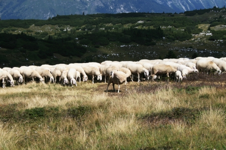 Flock of sheep in Dolomites photo