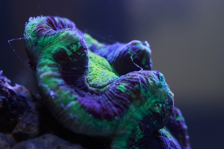polyp: large polyp coral