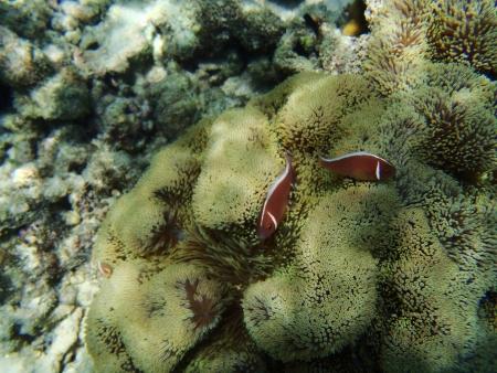 pink anemonefish: Pink Anemone Fish Stock Photo