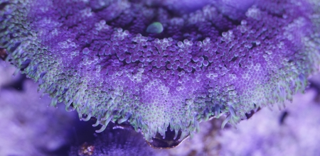 sarcophyton:  Sea Anemone texture