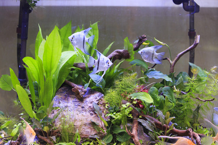 scalare: pterophyllum scalare and symphysodon discus in a tank with aquatic plants  Stock Photo