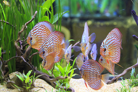 symphysodon discus: pterophyllum scalare and symphysodon discus in a tank with aquatic plants