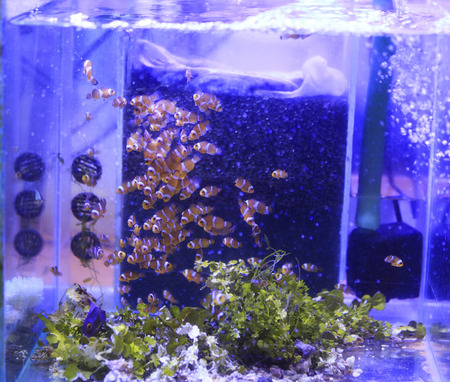 Clownfish (Anemonefish) farm Stock Photo - 26747874
