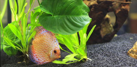 symphysodon discus: symphysodon discus in a tank with aquatic plants